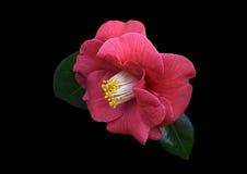 Rosa Blume auf schwarzem Hintergrund Lizenzfreies Stockbild