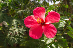 Rosa Blume auf tropischem Hintergrund Helle Hibiscuse blühen auf der Niederlassung mit frischen grünen Blättern Stockfoto
