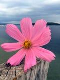 Rosa Blume auf verwittertem Pierbeitrag mit See und Bergen im Hintergrund stockbilder