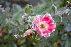 Rosa Blume bedeckt mit Frost Stockfotografie