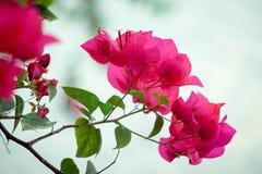 Rosa Blume Bouganvilla Stockfoto