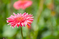 Rosa Blume der Gerberas lizenzfreie stockfotografie
