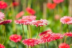 Rosa Blume der Gerberas lizenzfreies stockfoto