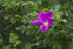 Rosa Blume der Hundrose (Briar) Stockfotos
