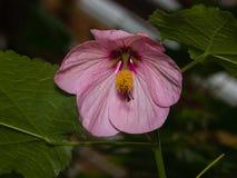 Rosa Blume der hybriden Nahaufnahme des Abutilon, selektiver Fokus Flacher DOF Lizenzfreie Stockfotografie