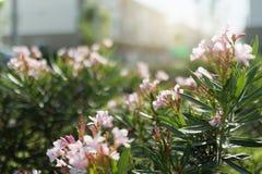 Rosa Blume an der Sonnenlichtnatur Lizenzfreie Stockfotografie