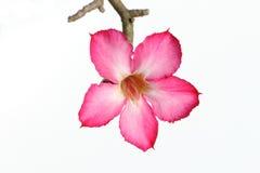 Rosa Blume der Wüstenrose auf weißem Hintergrund Stockfotografie