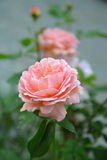 Rosa Blume des Hundes stieg Stockbild