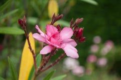 rosa Blume des Oleanders in einem Garten Stockfotografie