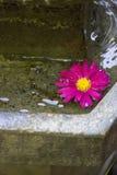 Rosa Blume, die in Wasser schwimmt Stockfotografie