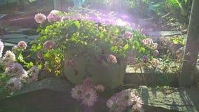 Rosa Blume in einer Topfsonnenreflexion lizenzfreies stockfoto