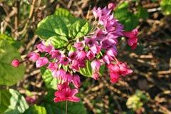 Rosa Blume in einer tropischen Zone von Amerika lizenzfreie stockfotos