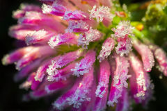 Rosa Blume eines Klees wird mit Reifmakro bedeckt Stockfotografie
