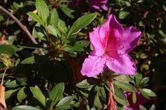 Rosa Blume gegen Busch Stockbild