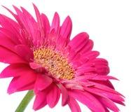 Rosa Blume Gerbera des Stiels wird auf weißem Hintergrund lokalisiert Stockfotos