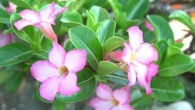 - rosa Blume - Grünblätter