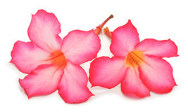 - rosa Blume - Grünblätter Lizenzfreie Stockfotografie