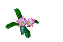 - rosa Blume - Grünblätter Stockfotografie