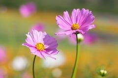 Rosa Blume heraus fokussieren Hintergrund Stockfotos