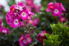 Rosa Blume im Betriebsbaum Stockfotografie