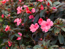Rosa Blume im Garten Stockfotografie