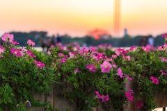 Rosa Blume im Garten Stockbild