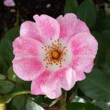 Rosa Blume im Schatten Stockfotografie