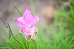Rosa Blume im Wald, schönes natürliches in Thailand Stockfoto