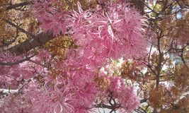 Rosa Blume leaved von Ecuador Lizenzfreies Stockbild