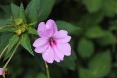 Rosa Blume in Merapi-Berg lizenzfreie stockbilder