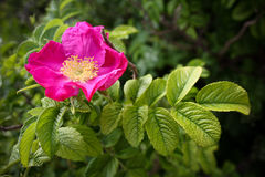 Rosa Blume mit einem grünen Blatt Lizenzfreie Stockbilder