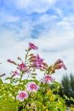Rosa Blume mit einem hellen blauen Himmel Lizenzfreie Stockfotos