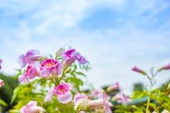 Rosa Blume mit einem hellen blauen Himmel Stockbild