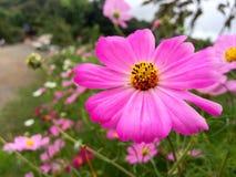 Rosa Blume mit gelber Mitte Stockfotos