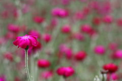 Rosa Blume mit grünem Stamm Lizenzfreie Stockfotografie