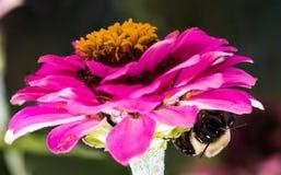 Rosa Blume mit Hummel darunterliegend stockfotografie