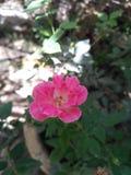 Rosa Blume schön Lizenzfreies Stockfoto