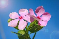 Rosa Blume und Blendenfleck Stockbild