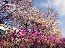 Rosa Blume und Kirschblüte stockbild