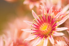 Rosa Blume von einem allgemeinen Houseleek Stockbilder