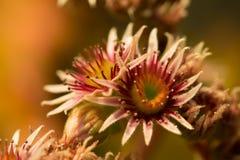 Rosa Blume von einem allgemeinen Houseleek Lizenzfreie Stockfotos