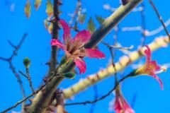 Rosa Blume von Seidenglasschlackenbaum Ceiba speciosa, früher Chorisia-speciosa stockfotos