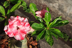 Rosa Blume Wüstenrose (Adenium) Lizenzfreie Stockfotos