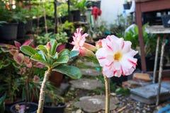 Rosa Blume Wüstenrose (Adenium) Stockfotografie