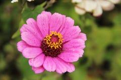 Rosa Blume Zinnia empfindlich lizenzfreie stockfotografie