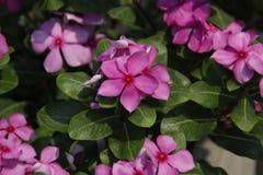 Rosa Blumen Lizenzfreies Stockfoto