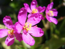 Rosa Blumen Lizenzfreie Stockfotografie