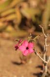 Rosa Blumen auf Adenium obesum swazicum Stockbild