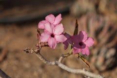 Rosa Blumen auf Adenium obesum swazicum Stockbilder