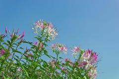 Rosa Blumen auf blauem Himmel Stockfoto